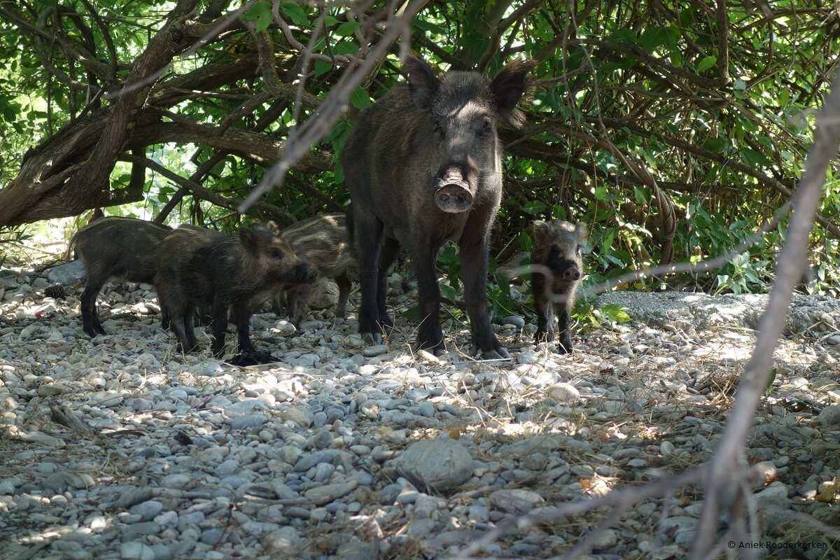 Wild boar in Dilek Peninsula National Park