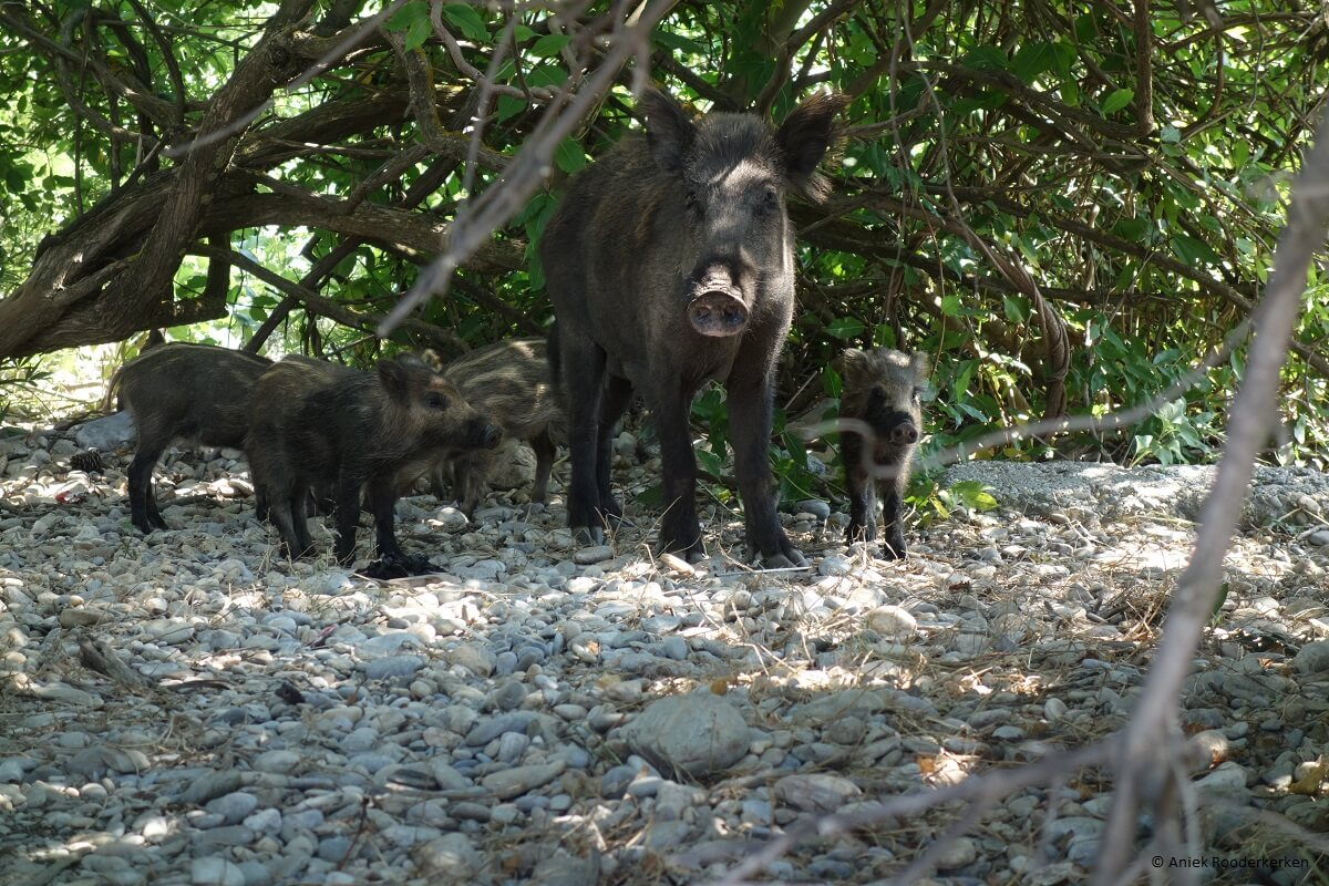 Wild boar in Dilek Peninsula National Park