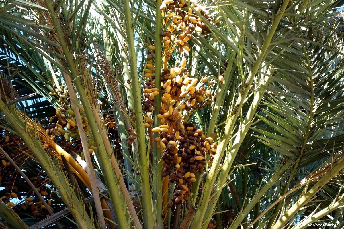 Date palms in Elche