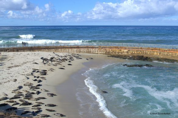 Seals at La Jolla in California