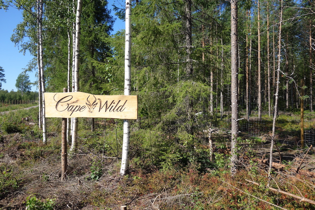 Cape Wild in Swedish Lapland. A wildlife center where tame moose and wild boar live in their natural habitat.