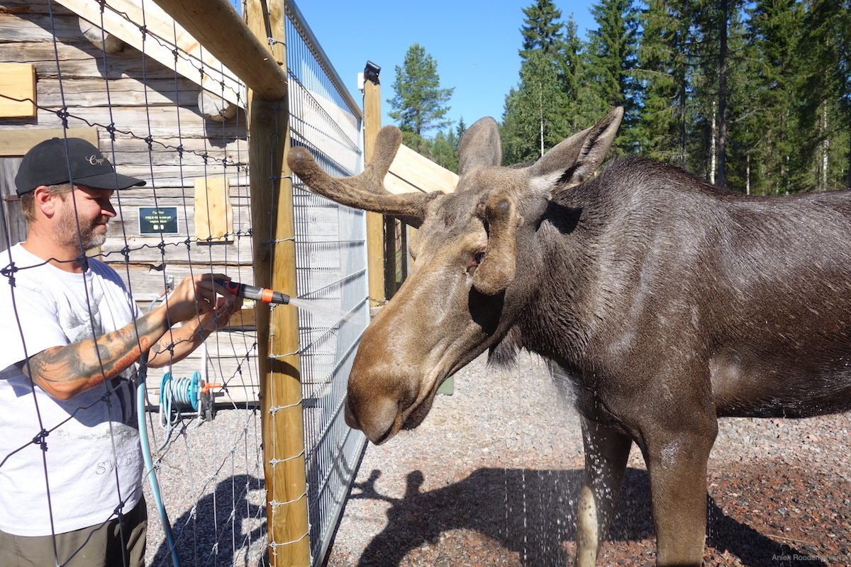 In summer the moose are showered with a water hose so they can cool down. Especially now that Swedish Lapland is a lot warmer than normal at this time of year, this is a nice refreshment for the moose.