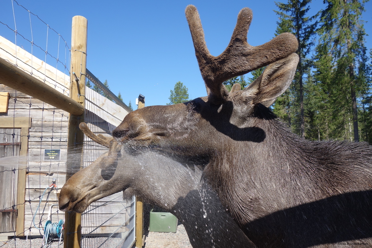 Zigge and Zebbe, the tame moose of Cape Wild, enjoy their shower.