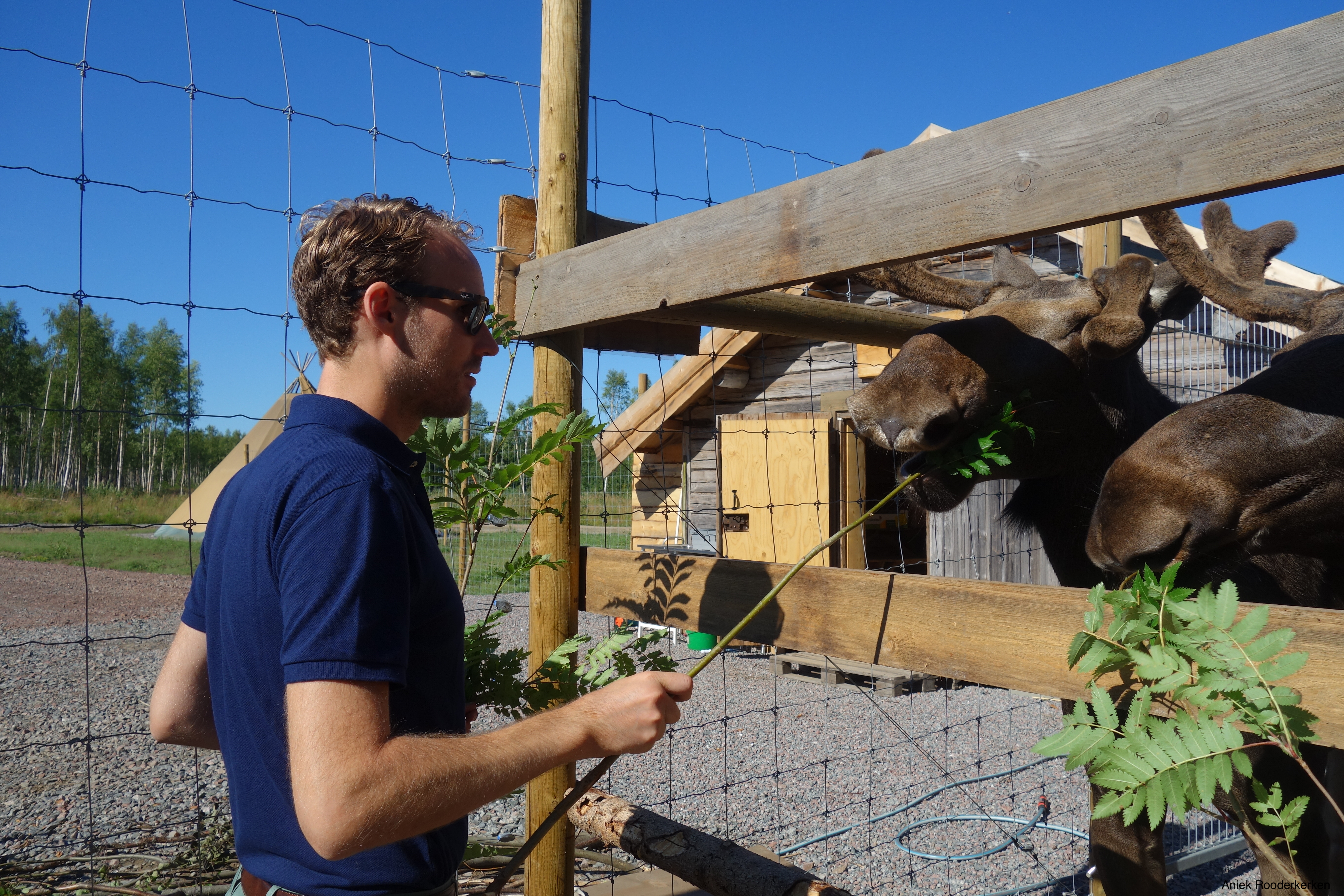 Feeding birch twigs to the tame moose at Camp Wild in Swedish Lapland