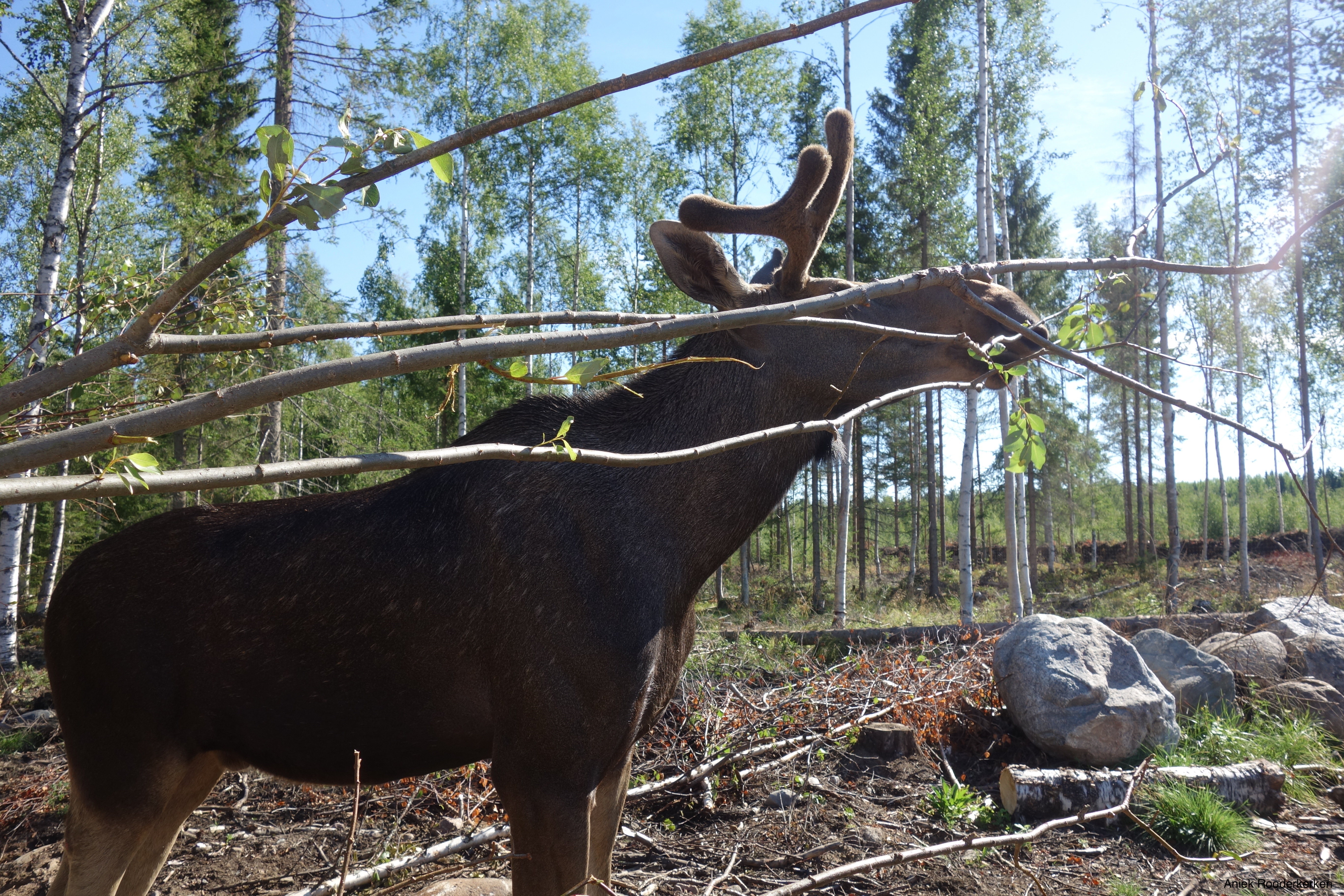 The moose of Cape Wild live in a fenced area.