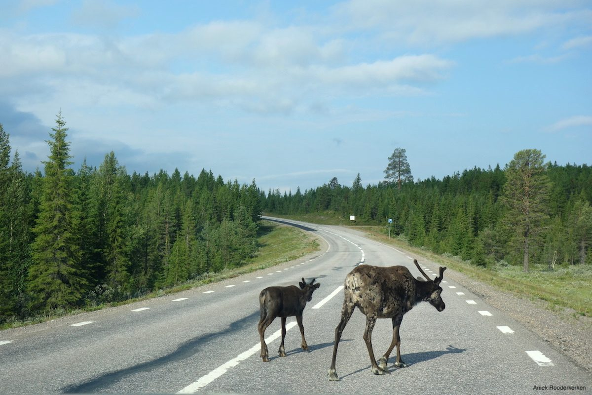 This area actually is the most reindeer-dense in Sweden. Often they are standing in the middle of the road, letting the cars wait until they have crossed the road.
