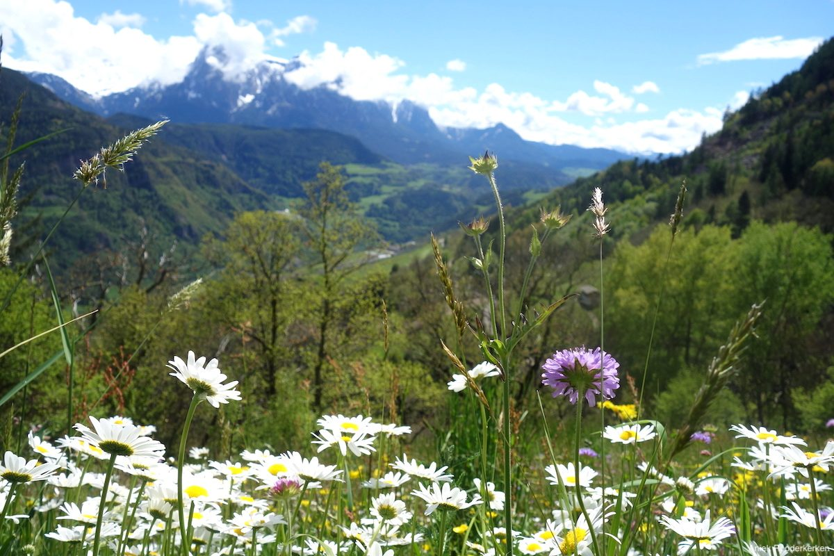 Alpine meadow with flowers in South-Tyrol