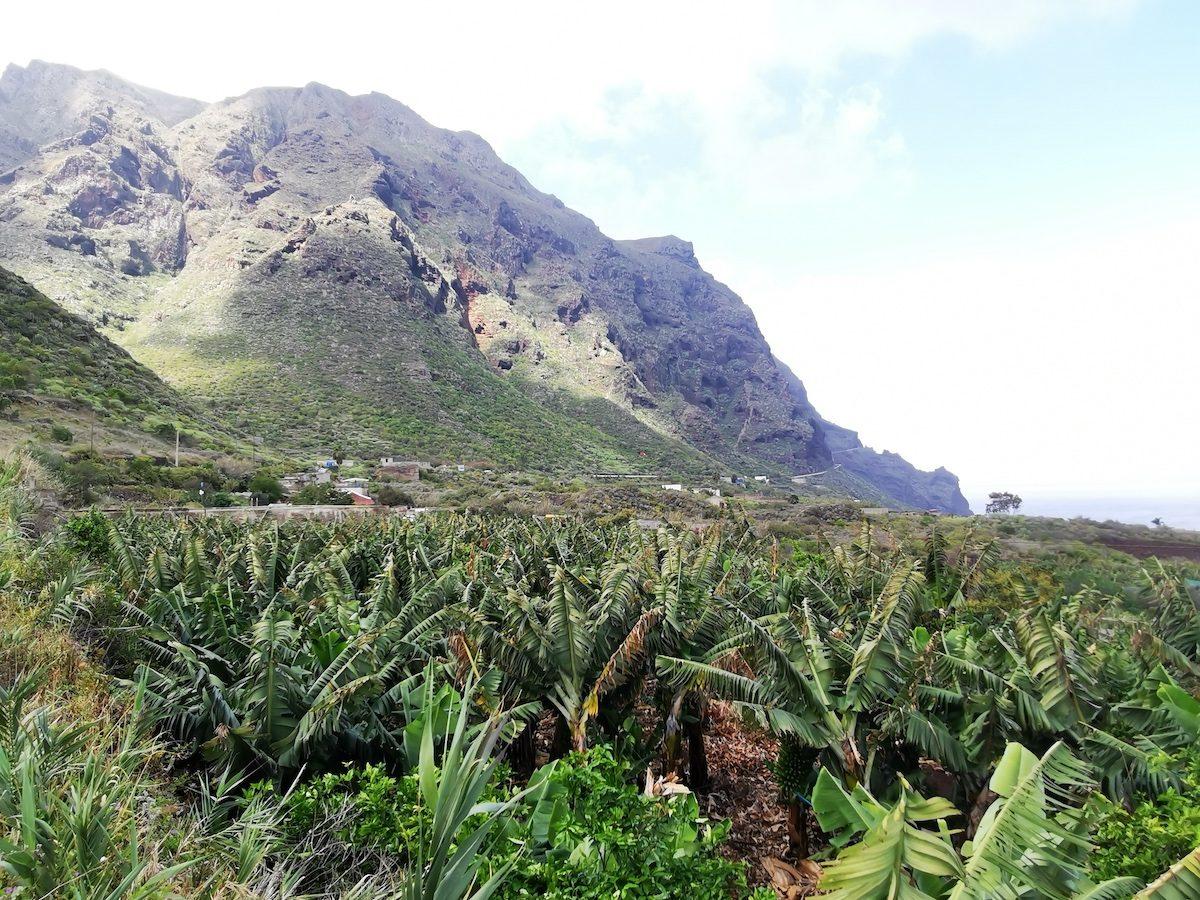 Bananenplantage op Tenerife
