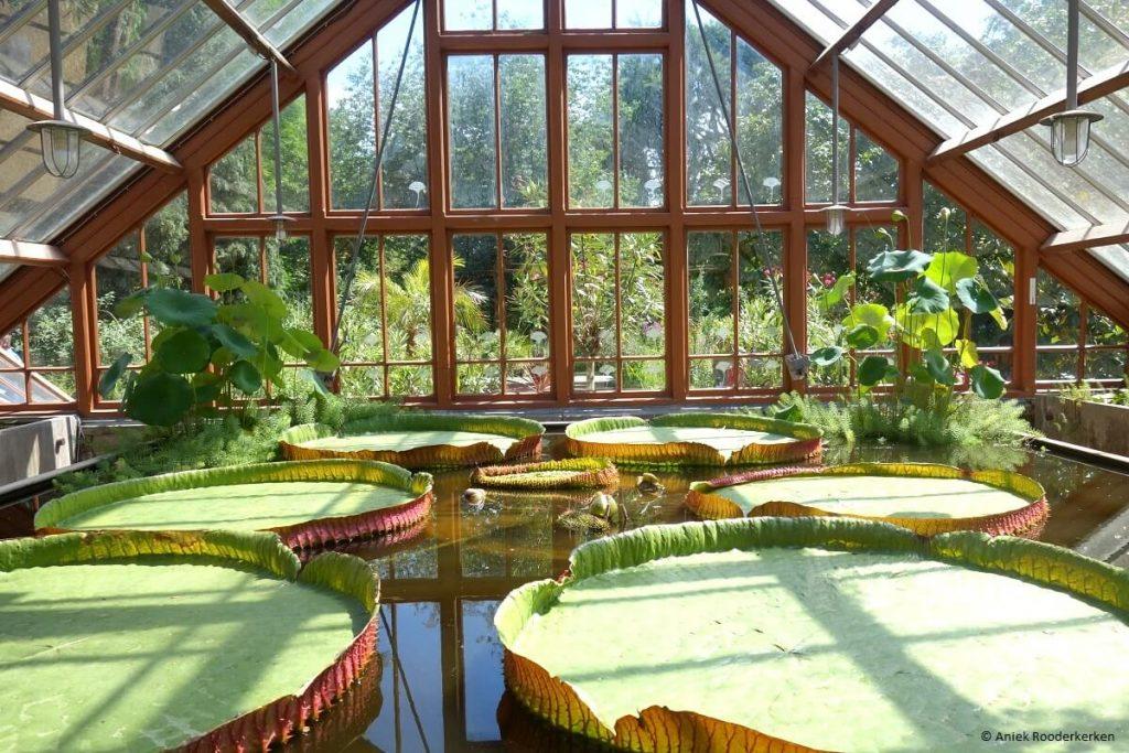 Victoria Amazonica reuzenwaterlelie in de Oude Hortus Utrecht