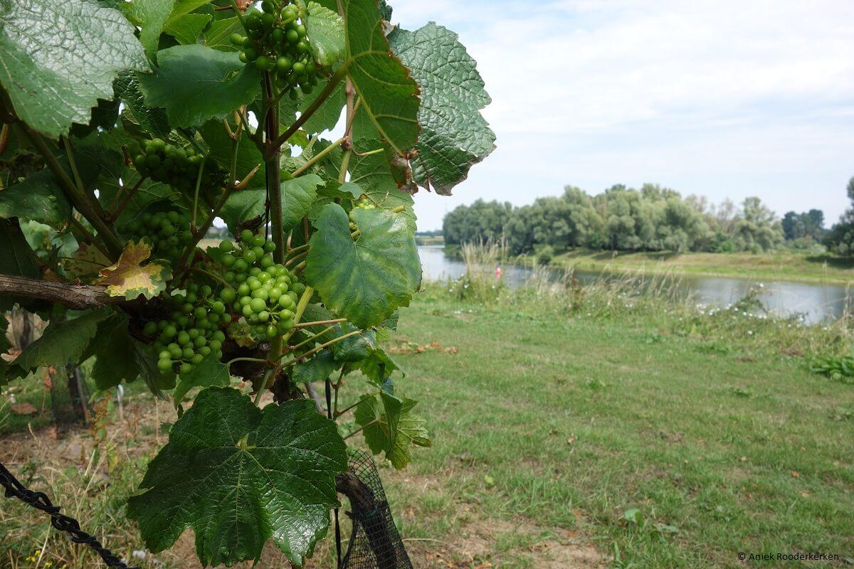 Fietsen of wandelen naar een wijndomein in Limburg