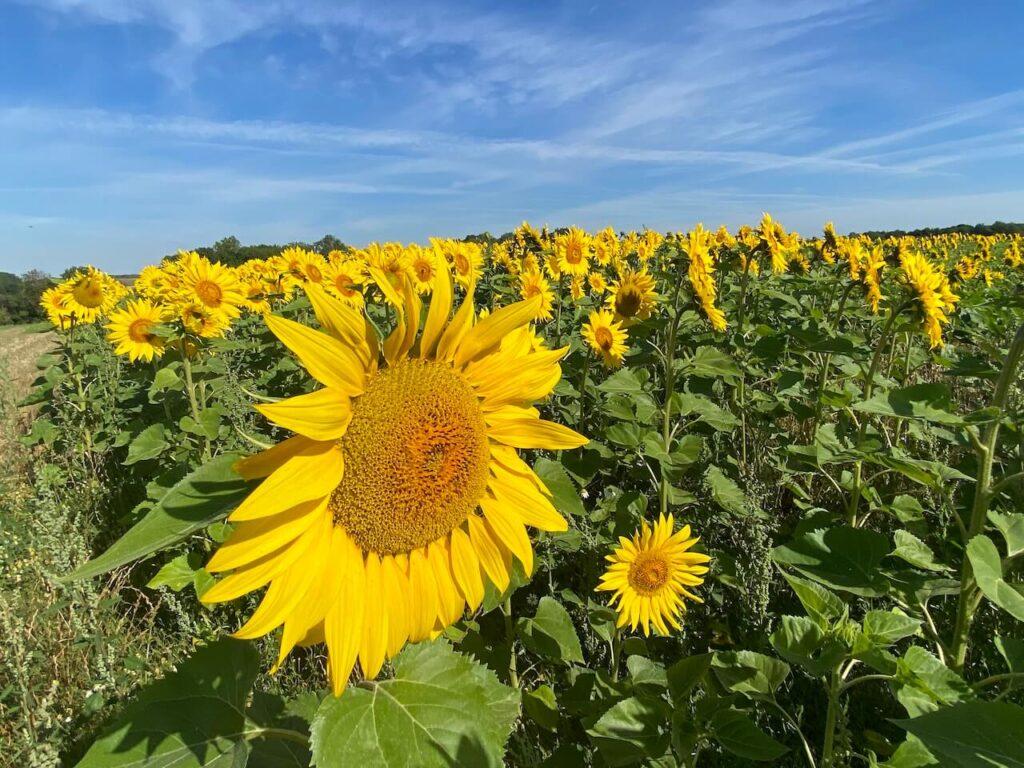 Fields full of sunflowers in France